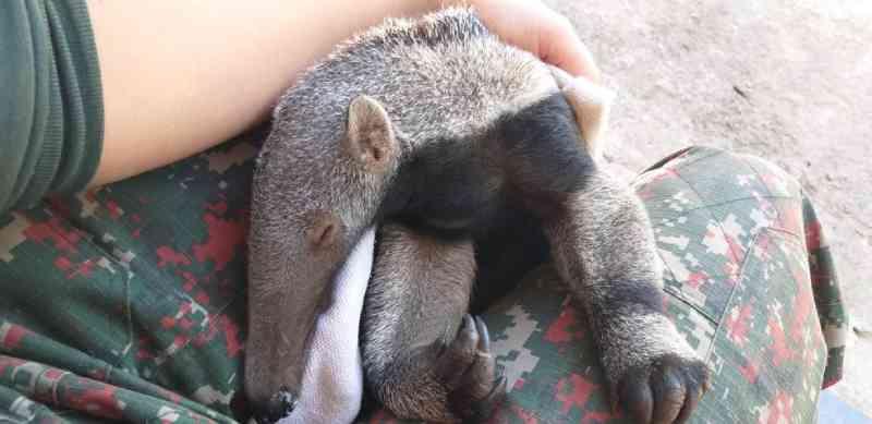 Filhote de tamanduá-bandeira é resgatado grudado ao corpo da mãe morta por atropelamento em MS
