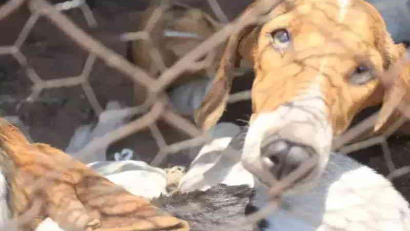 Justiça libera castração de cachorros resgatados de canil na MS-040