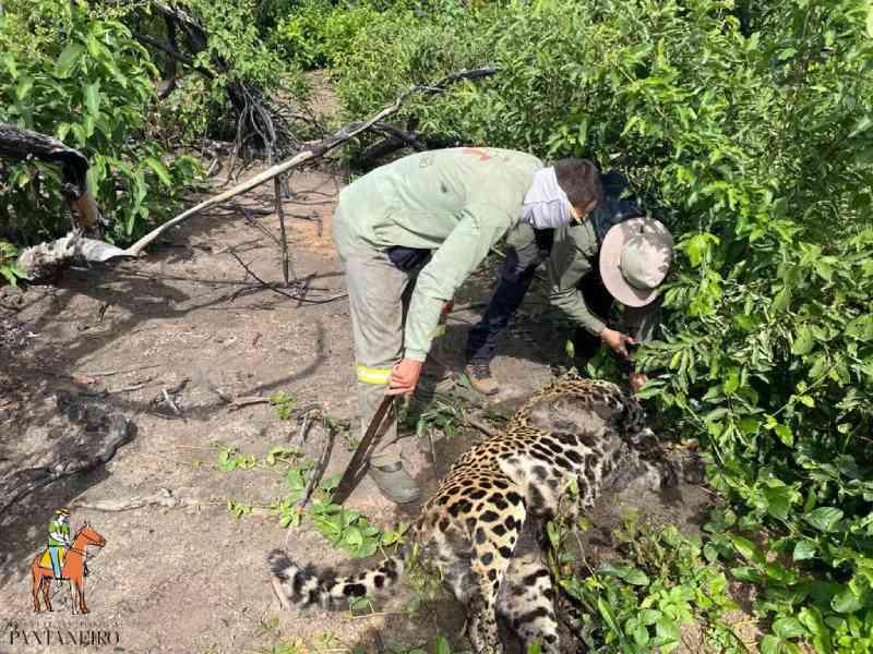 Perícia confirma que onça foi morta a tiro e PMA amplia fiscalização no Pantanal