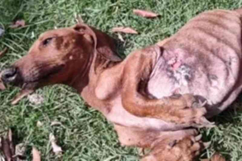 Homem é detido por maus-tratos a cão resgatado desnutrido e ferido em MT