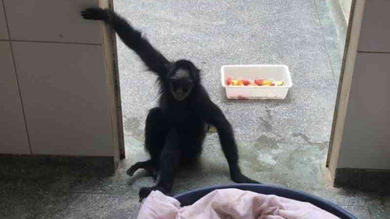 Macaco-aranha que fumava narguilé e ficou preso por 20 anos se recupera no Hospital Veterinário da UFMT; veja vídeos