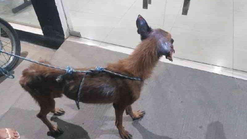 Policiais resgatam cachorros debilitados e prendem suspeito por extorsão e maus-tratos em MT
