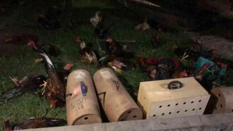 Animais são resgatados de 'rinha de galo' na Comunidade Castela, em Santarém, PA