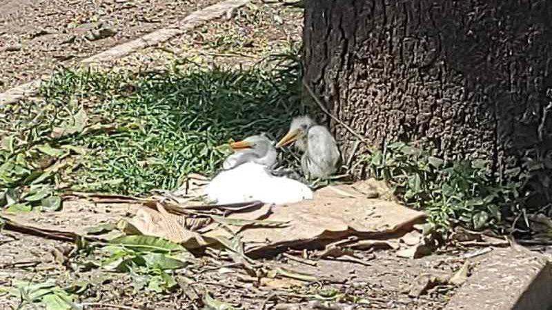 Filhotes de garça morrem após poda de árvores em Santarém, PA; prefeitura e polícia investigam