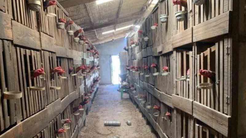 Polícia Militar apreende 184 galos usados em rinhas em chácara de Planaltina, DF