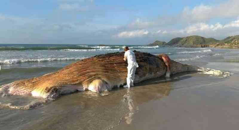 Baleia-jubarte de 13 metros é encontrada morta na Ilha do Mel
