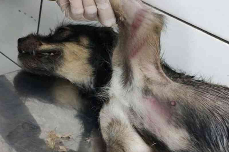 Homem é flagrado arremessando cadela à rua para ser atropelada em Trindade, GO