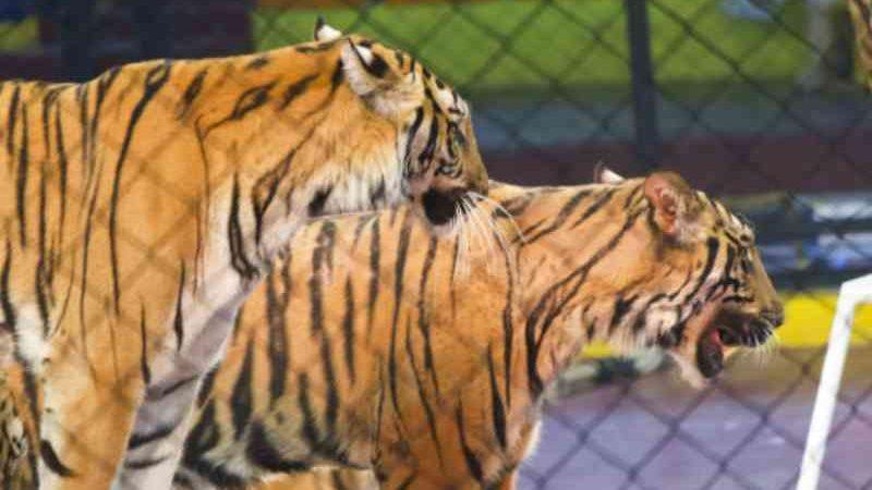 Treinador de animais do ramo circense deve pagar multa do Ibama por maus-tratos
