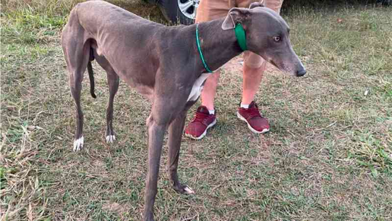 Polícia civil prende cinco envolvidos em corridas com cães galgo e apreende animais em Araranguá, SC