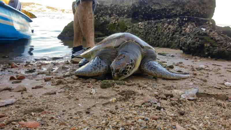 Vídeo: homem pula na água para salvar tartaruga presa em rede de pesca, em Florianópolis, SC