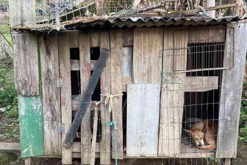 Polícia apreende três cães usados para caça em situação de maus-tratos e faz prisão em Florianópolis, SC