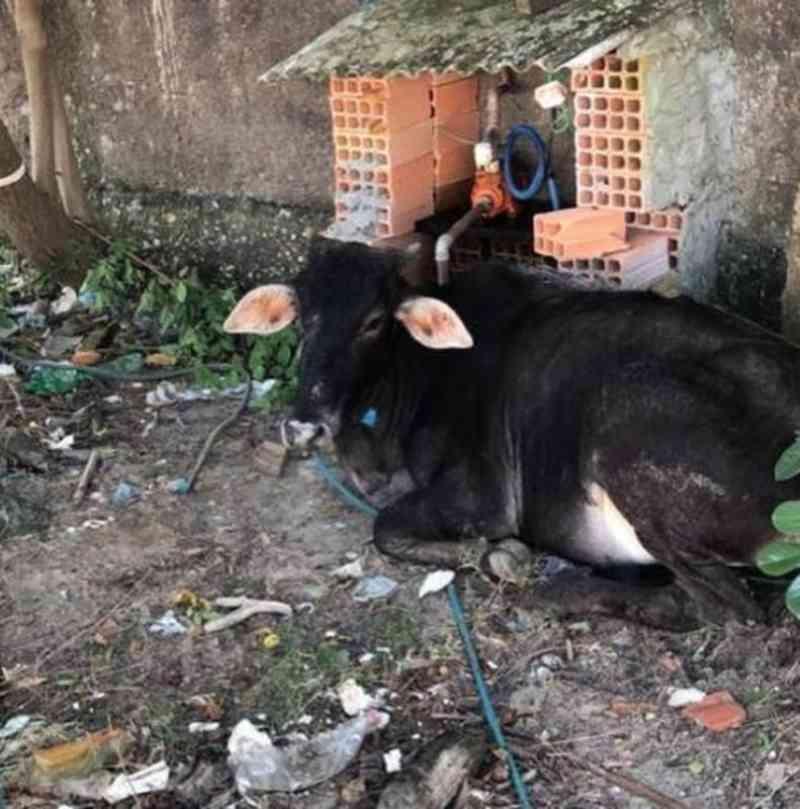 Farra do Boi em Navegantes (SC) resulta em animal ferido e amarrado a poste