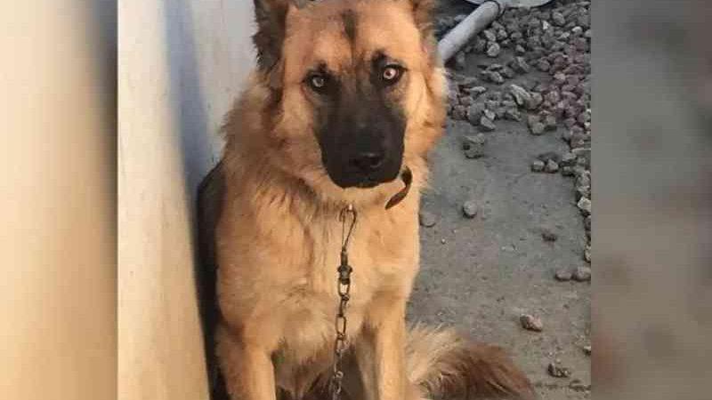 Cão vítima de maus-tratos se desespera até com policiais que foram socorrê-lo em SC