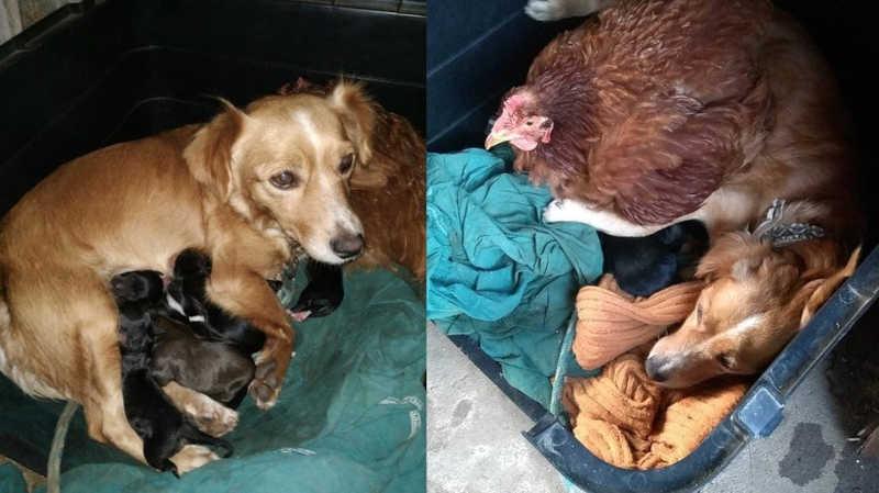 Galinha ajuda a cuidar de filhotes de cadela e assume papel de madrinha
