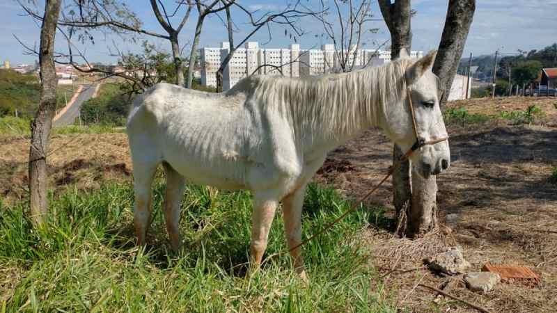 Homem é multado por manter cavalo preso em árvore e sem água em Itapetininga, SP