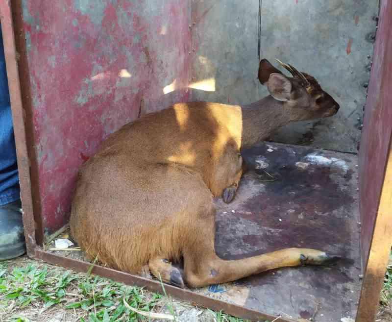Veado é resgatado após ser atropelado em estrada de Mairinque, SP