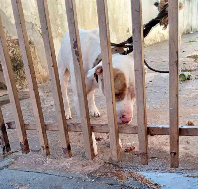 Polícia resgata cão encontrado amarrado em portão de casa, sem água e sem comida em Presidente Prudente, SP