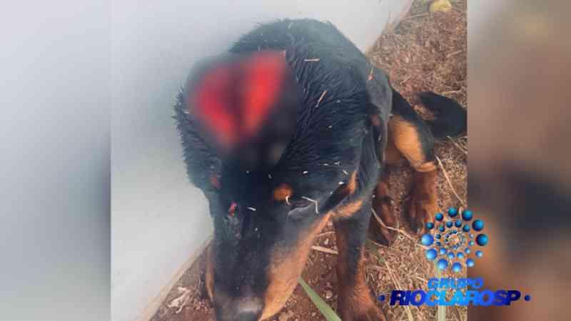 Homem golpeia cabeça de cão com facão, é indiciado por maus-tratos e preso por porte ilegal de arma em Rio Claro, SP