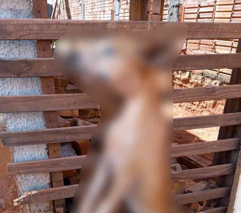 'Ato de crueldade', diz protetora de animais sobre cachorro morto após ser enforcado em São José Rio Preto, SP