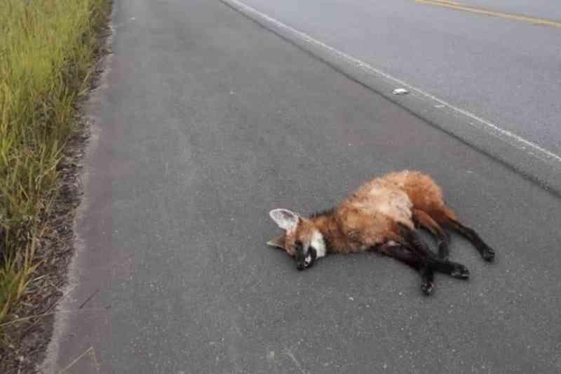 Lobo-guará morre atropelado na rodovia Oswaldo Cruz, em São Luiz do Paraitinga, SP