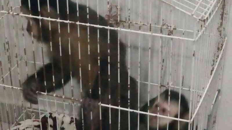 Homem é preso ao transportar de forma ilegal dois macacos-prego na rodovia Fernão Dias