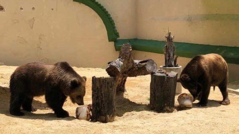 'Vida Nova': Rancho dos Gnomos faz campanha para trazer os irmãos ursos Úrsula e Zé Colmeia de zoo em Pernambuco