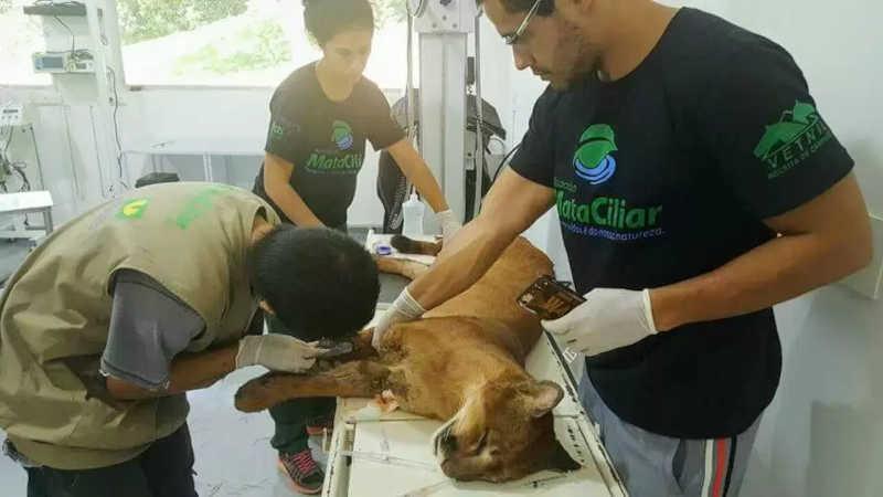 Trabalho da Mata Ciliar é exemplo em todo o Brasil na reabilitação de animais silvestres (Foto: Divulgação/Mata Ciliar)