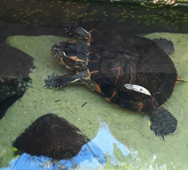Cativeiro irregular de tartarugas é identificado durante nebulização contra a dengue em Limeira, SP