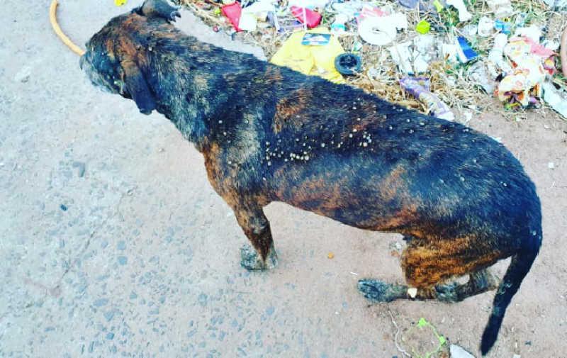 Patrulha Animal da GCM realiza resgate de animal coberto de carrapatos em Rio Claro, SP