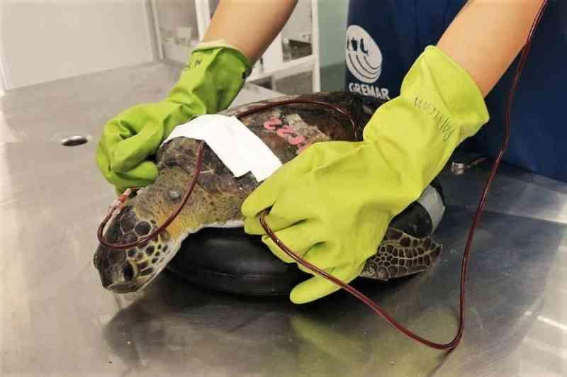 Instituto realiza soltura de tartaruga que 'doou' sangue para animal da mesma espécie
