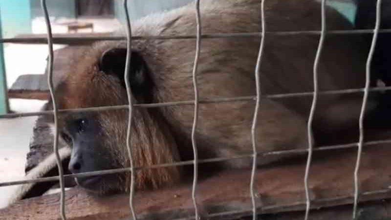 Macacos passam por reabilitação após resgate e se preparam para encontrar 'parentes' em reservas