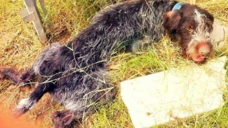 Cão idoso encontrado abandonado com sinais de maus-tratos recebe tratamento; veja vídeo. (Foto: Reprodução)