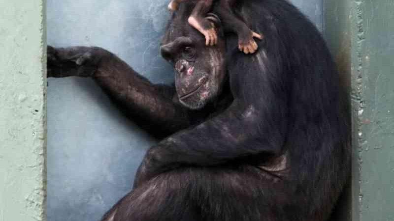 As mães chimpanzés são como nós: fazem o luto, cuidam e tiram tempo 'pessoal'