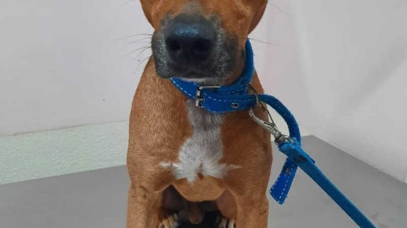 Cão Ralph fugiu de casa no dia 20 de maio e voltou com ferimento na região anal — Foto: Arquivo pessoal