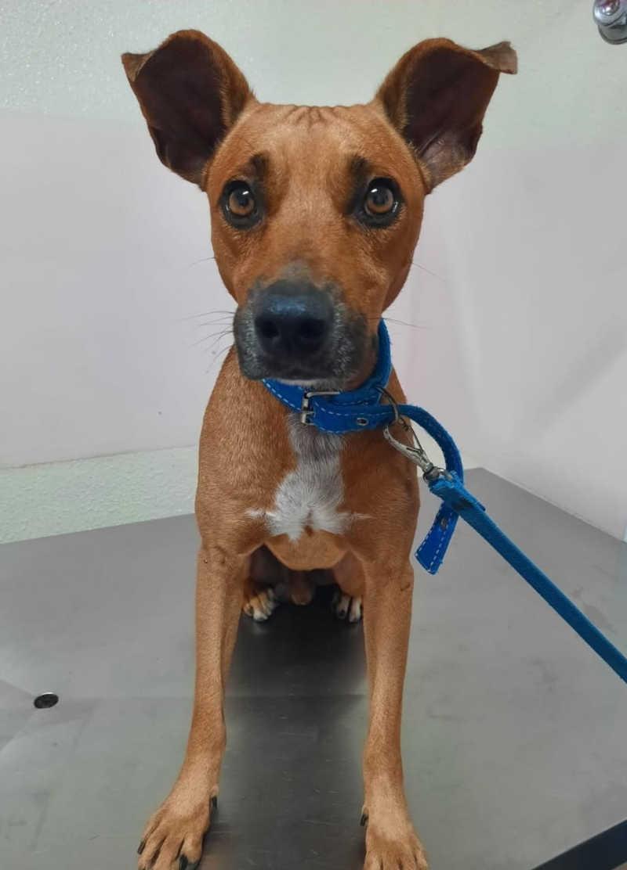 Cão foge de casa e volta com sinais de agressão e lesão no ânus em Maceió, AL