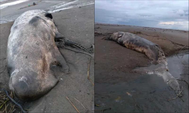Cachalote de 10 metros achada por ribeirinhos é o 1º registro de encalhe dessa espécie na costa do Amapá, diz Instituto