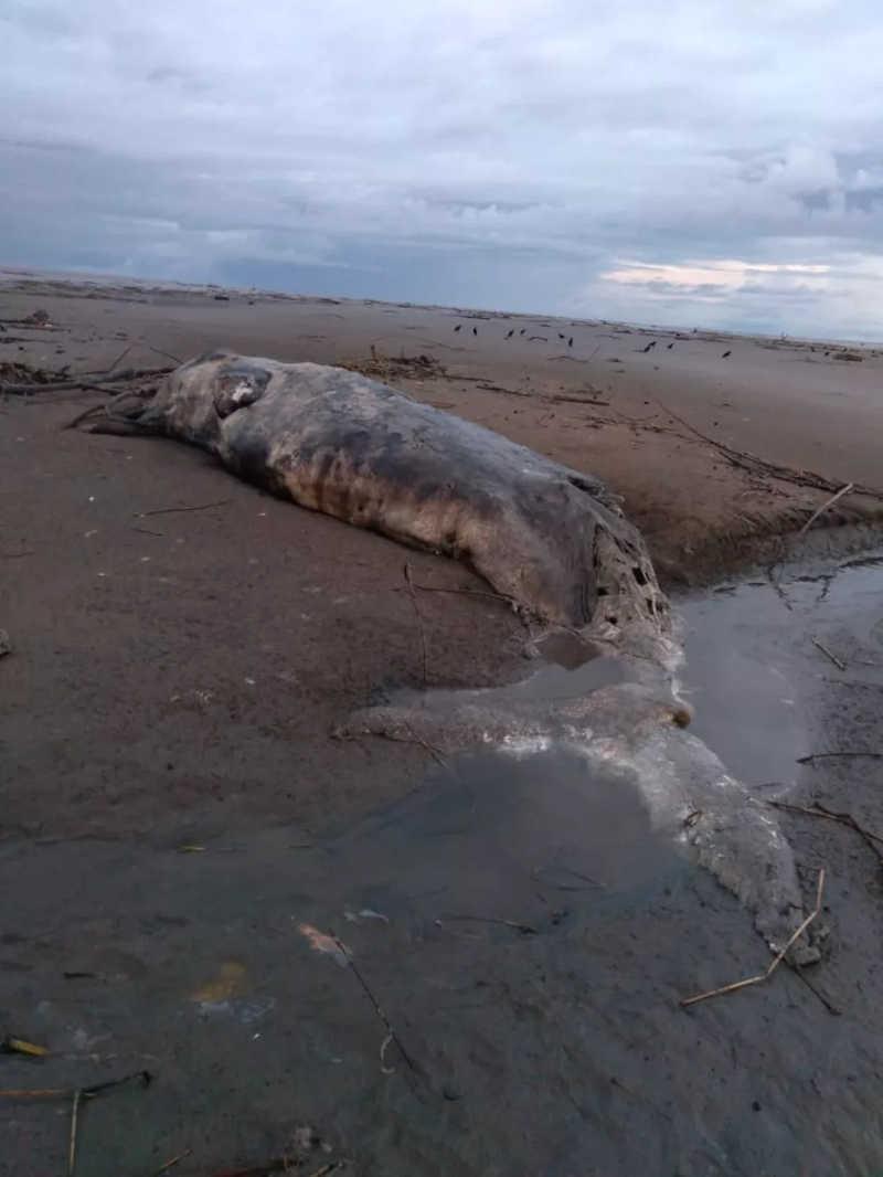 Mamífero mede cerca de 10 metros de comprimento — Foto: Mamirauá/Divulgação