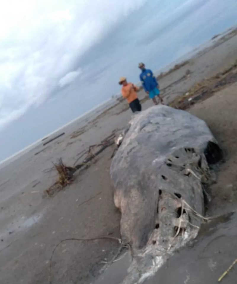 Ribeirinhos encontraram cachalote encalhada na costa do Amapá — Foto: Mamirauá/Divulgação