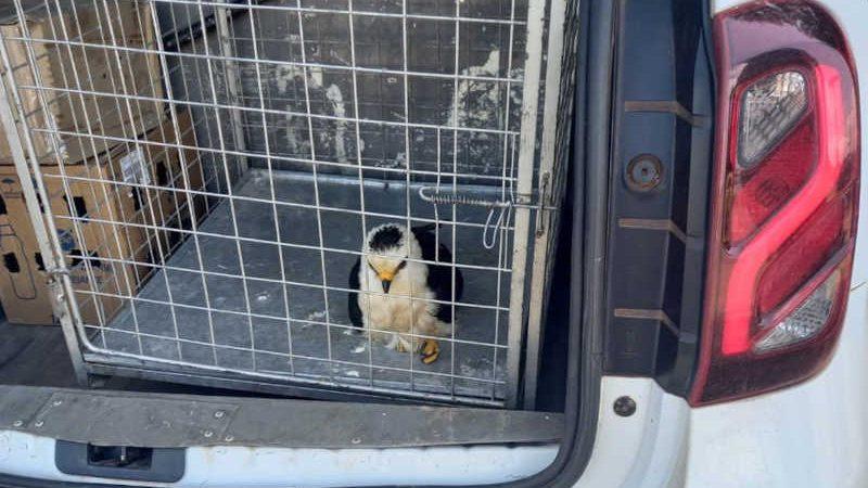 Animal, segundo o bioparque, tinha características de estar sendo mantido em cativeiro — Foto: Bioparque da Amazônia/Divulgação