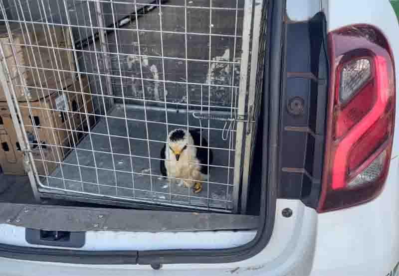 Animal, quando foi resgatado pela PM  Foto: Bioparque da Amazônia/Divulgação