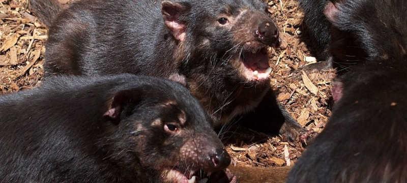 Esforços para salvar diabos-da-Tasmânia mataram uma colônia de pinguins