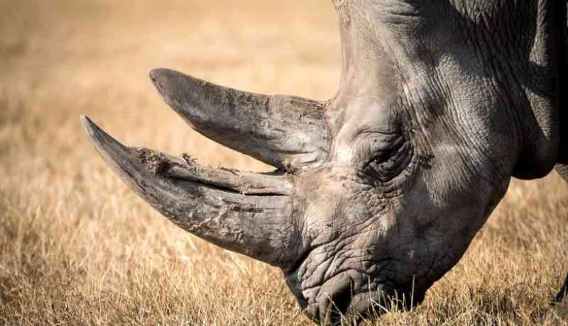 Chifres de rinoceronte radioativos para dificultar comércio de marfim