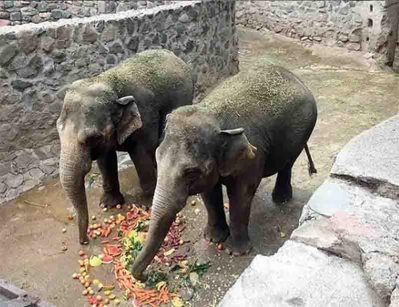 Mãe e filha, elefantas de cativeiro se preparam para deixar a Argentina e viver em Santuário em MT