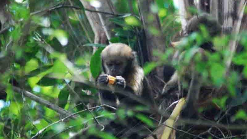 Caça afeta o comportamento de macacos-prego-do-peito-amarelo em reserva biológica na Bahia