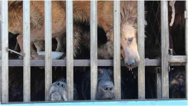 Festival com cachorros cozidos vivos começa na China, com protestos