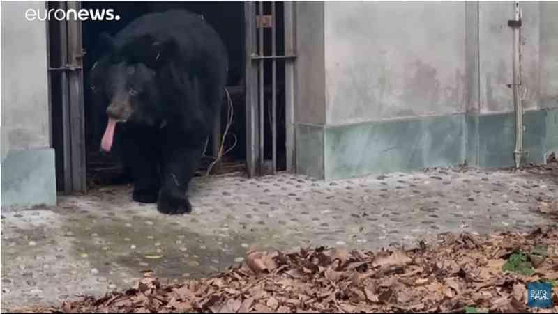 Os 101 ursos salvos de uma fazenda de extração de bílis