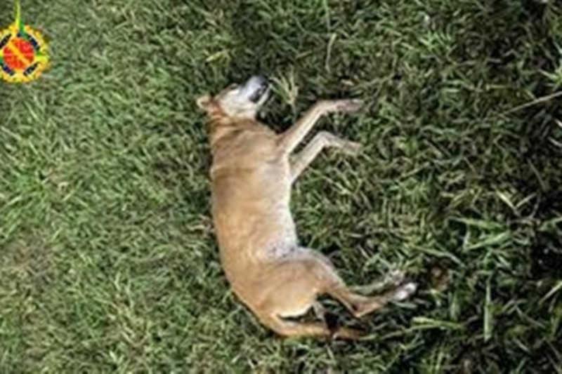 Homem tenta separar briga entre cães e mata cadela a chutes no DF