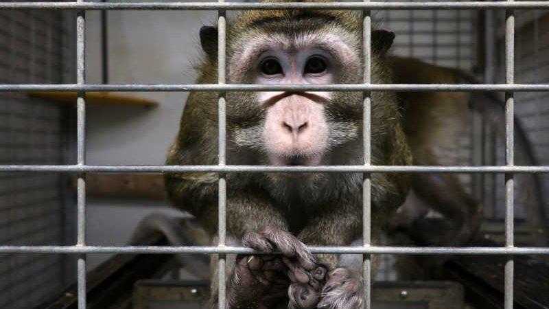 Mico em uma gaiola do laboratório Vivotecnia, em Madri, fechado por investigação de maus-tratos de animais. CRUELTY FREE INTERNATIONAL/CARLOTA SAORSA