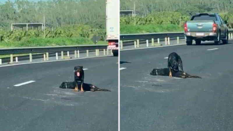 Cadela deixa de comer após perder filhote atropelado na BR-101