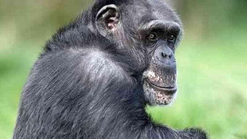 Após ataque, tutora de chimpanzé liga para a polícia e manda abatê-lo
